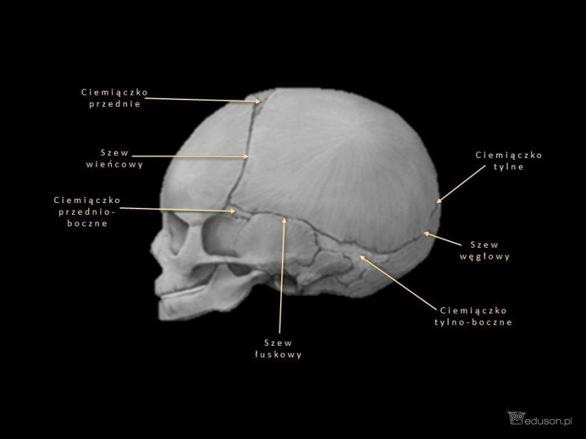 mózgowie - Portal wymiany wiedzy o ultrasonografii - Eduson