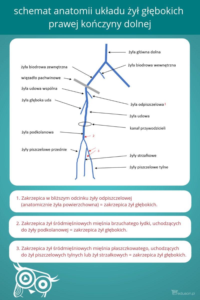 Schemat anatomii żył głębokich prawej kończyny dolnej