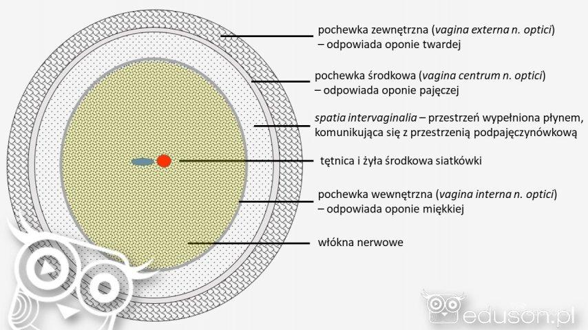 Przekrój poprzeczny przeznerw wzrokowy zjego osłonką.